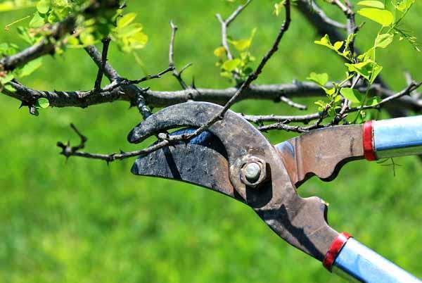 Consigli per la potatura di siepi, arbusti e alberi