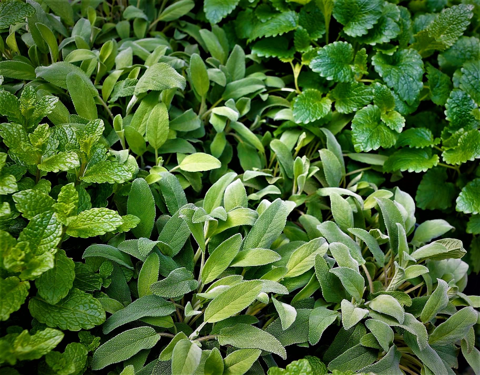 piante aromatiche e officinali - Solaria Giardini