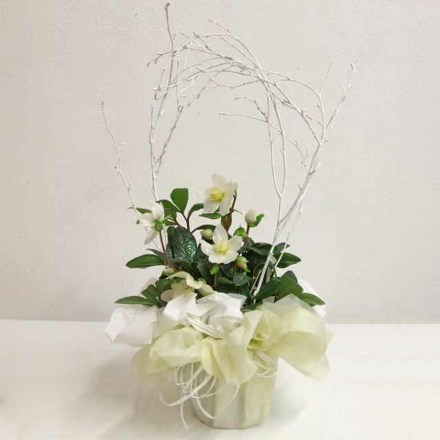 Helleborus - Solaria Giardini